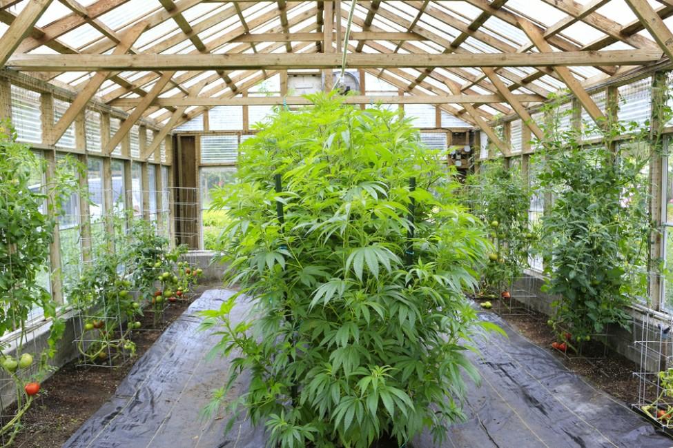 Konopí ve skleníku